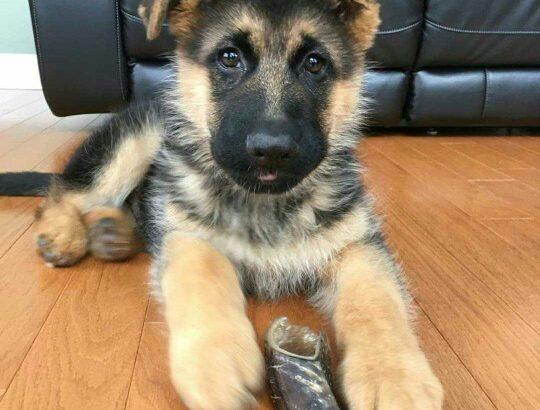 German Shepherd for adoption.