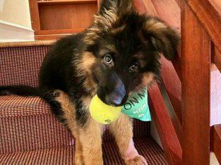 German Shepherd Puppies For Sale.