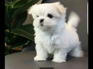Gift Mini Toy Puppies Bichon Maltes For Sale.