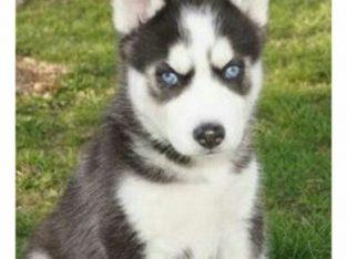 Lovely sweet blue eyes husky puppies ready