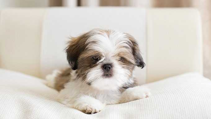 Shih Tzu Puppies ?