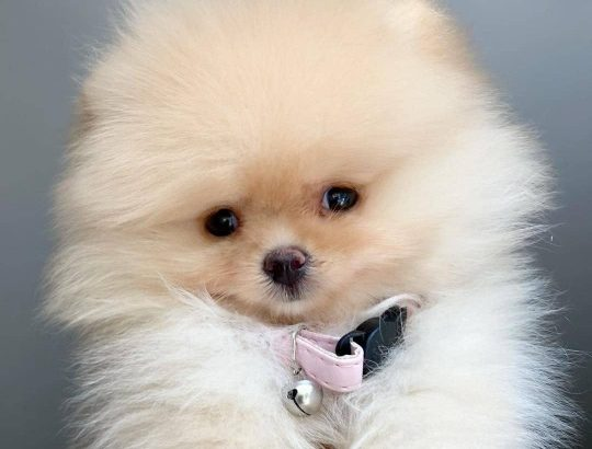 Pomeranian Puppies For Sale ?