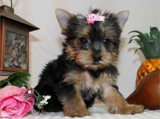 Yorkies For Adoption