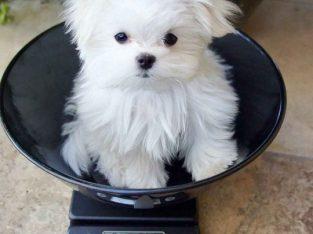Healthy Maltese Puppies