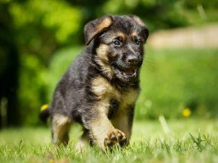 German shepherd Dogs ?