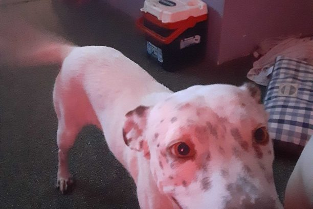 Loving pitty mix in urgent need of rescue or adoption