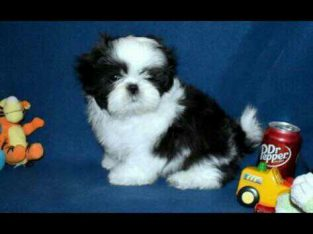 Lovely sweet shih tzu puppy for sale
