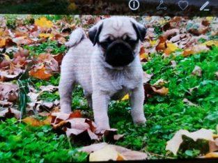 fawn pug puppy ready now