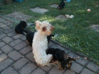 yorshiter terrier