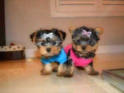Teacup Yorkie puppies cutie pie face!!