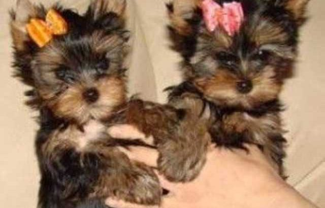 Teacup Yorkie puppies cutie pie face!!