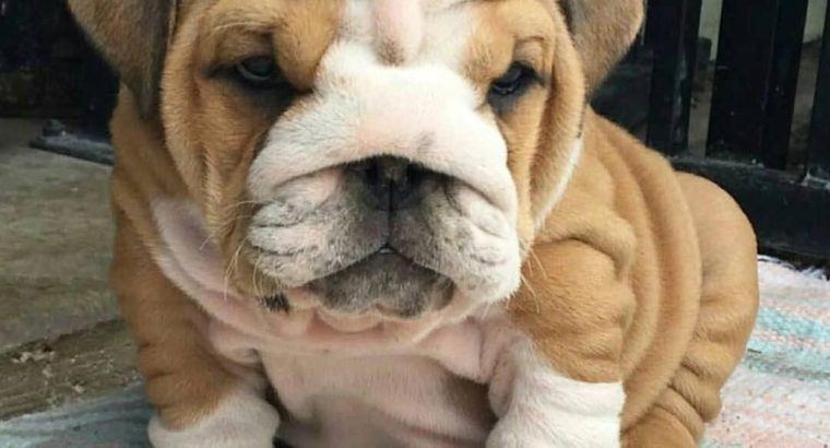 Well Tamed English Bulldog Puppies For Adoption