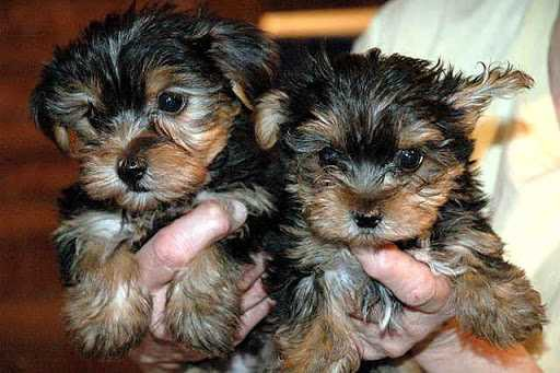 Cutie pie face Yorkie puppies available!!