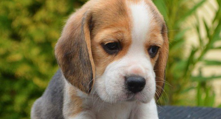 Get Beagle